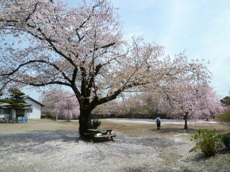 高徳寺の桜2.jpg