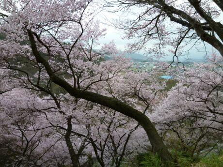 高遠城の桜5.jpg