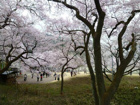 高遠城の桜6.jpg