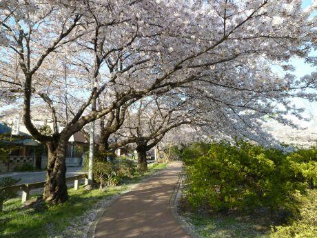 鴻巣公園の桜4.jpg