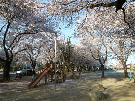 鴻巣公園の桜5.jpg
