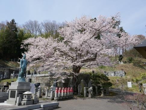 龍穏院桜2.jpg
