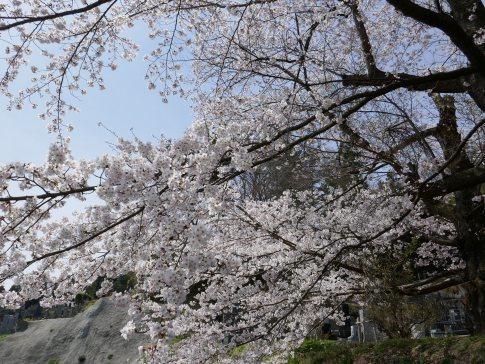 龍穏院桜6.jpg