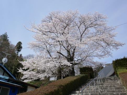 龍穏院桜1.jpg