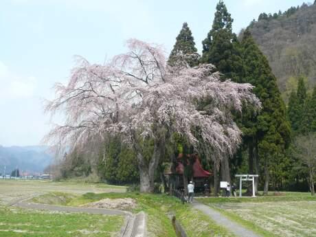 おしら様の枝垂れ桜2.jpg