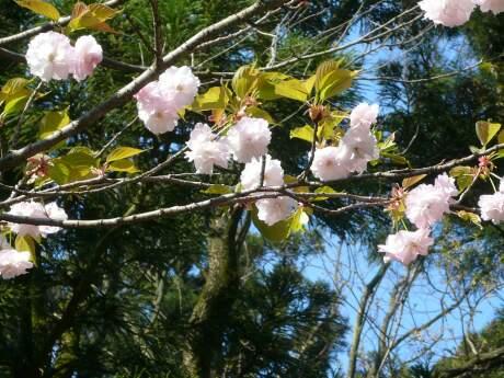 きのと桜2.jpg