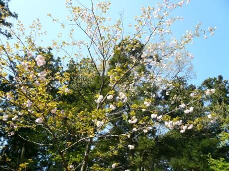 きのと桜1.jpg