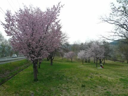 さくら公園.jpg