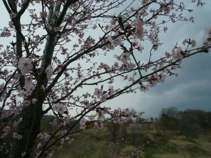 さくら公園 花びら1.jpg