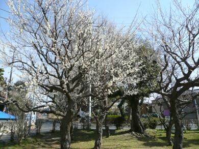 じゅん菜池緑地梅