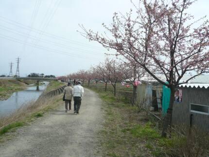 すみよし桜