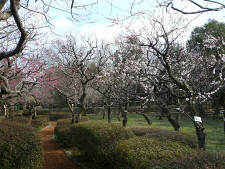 ふかや緑の王国 梅1.jpg