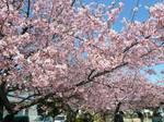 みろく緑地公園 桜 大3.jpg