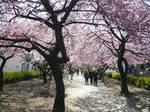 みろく緑地公園 桜 大2.jpg