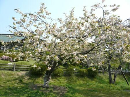 ウコン桜1.jpg