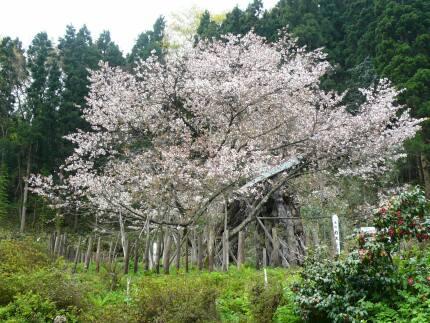 カスミ桜.jpg