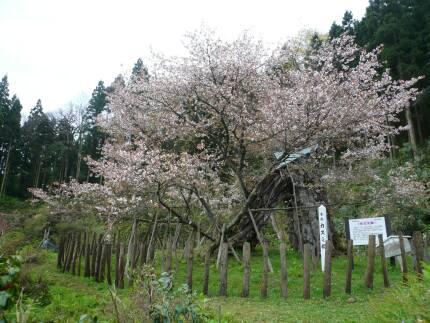 カスミ桜2.jpg
