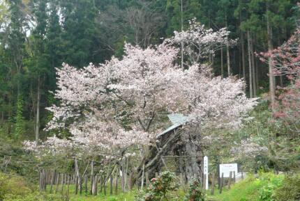 カスミ桜3.jpg