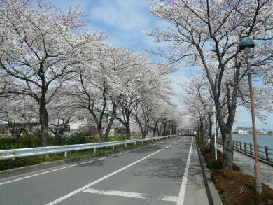 伊佐沼公園の桜