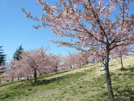伊勢崎市民の森の河津桜2.jpg