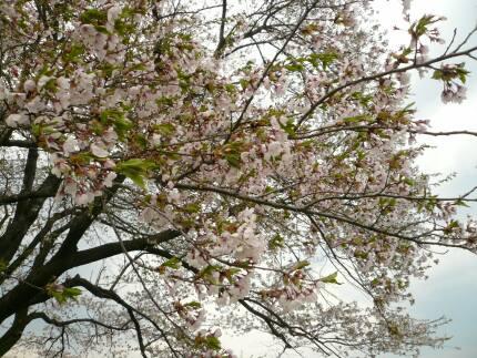 為内の一本桜.jpg