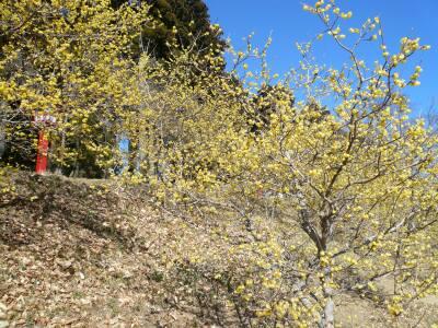 羽黒山神社のロウバイ