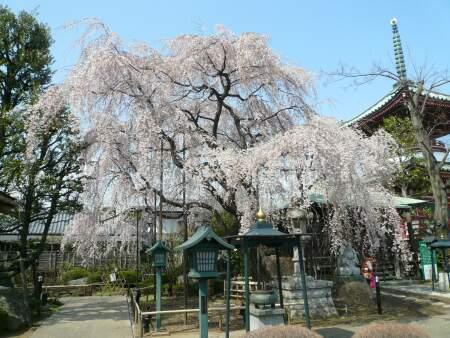円乗院の千代桜3.jpg