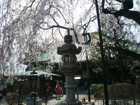 円乗院の千代桜2.jpg
