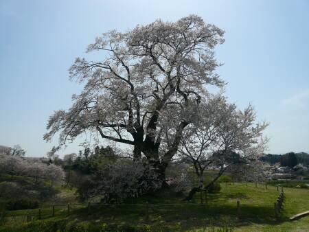 塩ノ崎の大桜2.jpg