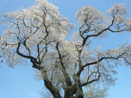 塩ノ崎の大桜3.jpg