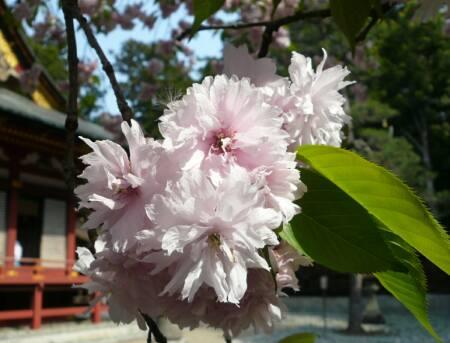 塩竈桜3.jpg