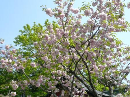 塩竈桜1.jpg