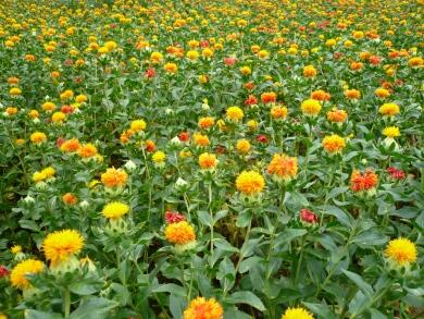 桶川の紅花