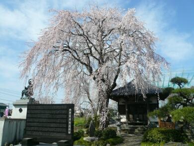河越館の枝垂れ桜.jpg