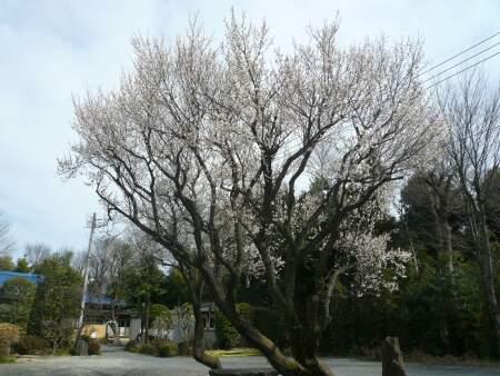 河越館跡 梅 200901.jpg