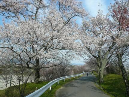 霞間ヶ渓の桜3.jpg