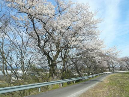 霞間ヶ渓の桜1.jpg