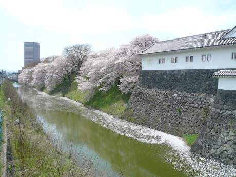 霞城公園の桜2.jpg