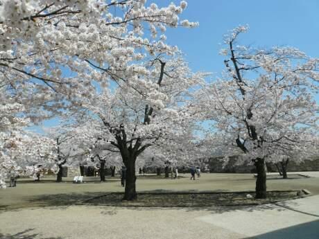 海津城の桜2.jpg