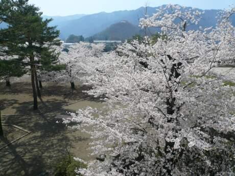 海津城の桜3.jpg