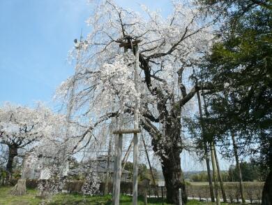 観音寺の桜