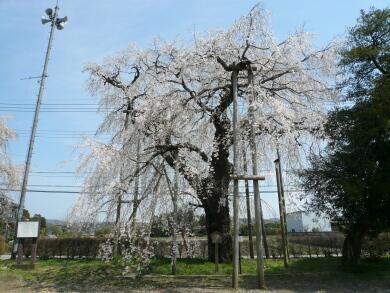 観音寺の桜1.jpg