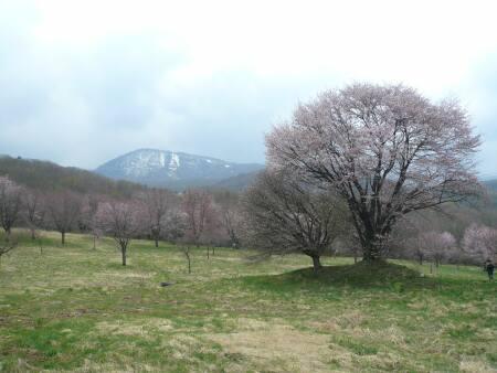 岩手県県民の森 一本桜.jpg