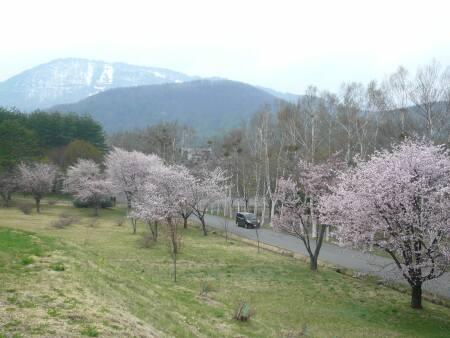 岩手県県民の森の桜2.jpg