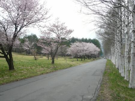 岩手県県民の森の桜3.jpg