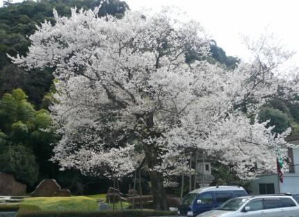 岐阜護国神社 鵜飼桜4.jpg