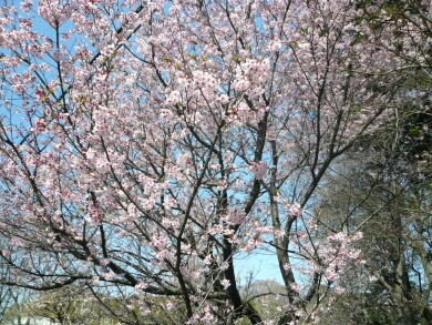 興禅院安行桜