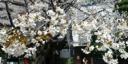 金王桜3.jpg