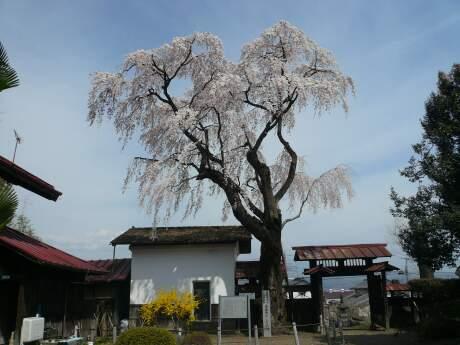 金蔵寺のシダレサクラ2.jpg