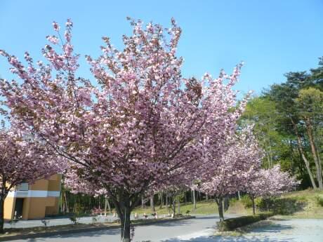 群馬パース大学の桜2.jpg